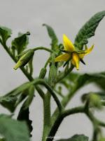 flores de tomate