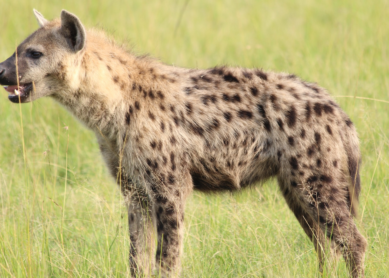 Notes From Kenya: MSU Hyena Research: May 2016