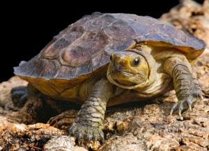 Penyakit flu pada kura-kura