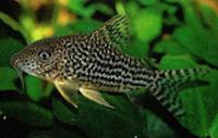 Jenis Ikan Corydoras haraldshultzi