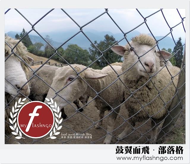 2015 台湾 ►南投清境 ►清境农场数绵羊 (19)
