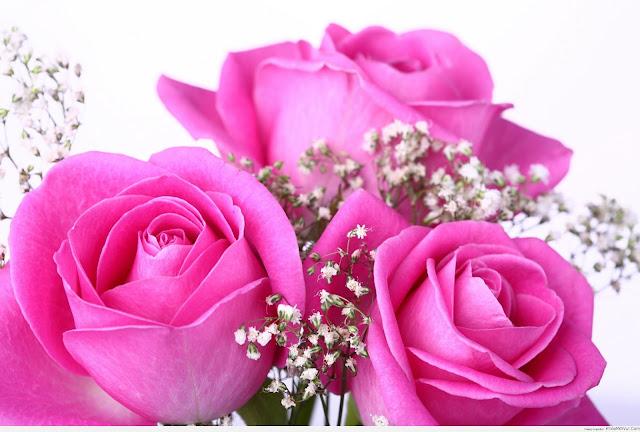 hoa hồng phấn đẹp nhất thế giới 4