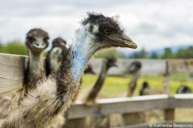 OstrichLand Emus Buellton California Weekend Getaway