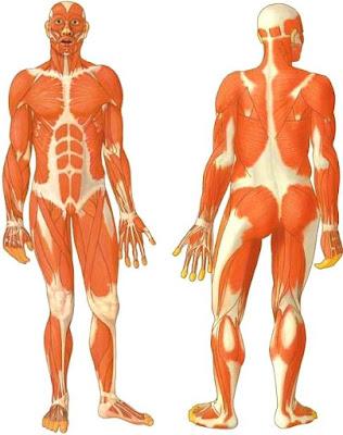 Dibujo del músculo parte delantera y trasera a color