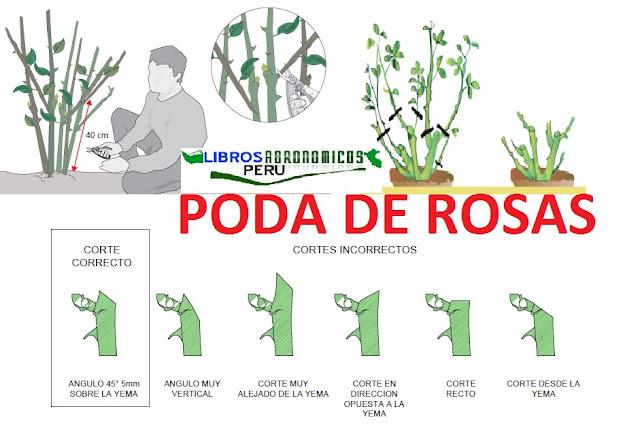 Como podar tus rosas en el jardin