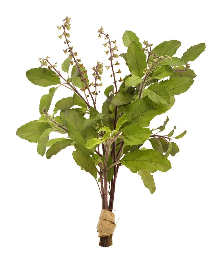 Natural Medicines Amp Cures Tulsi The Oldest Natural Medicine