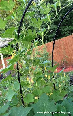 Squash vines growing on a trellis