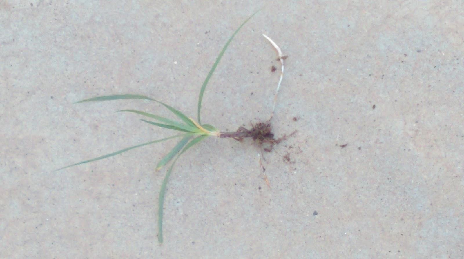 StillRoom Adventures: Getting Rid of Nutgrass