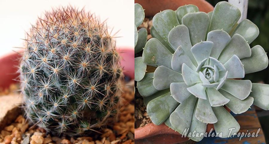 Imagen donde se observa un cactus (izquierda) y una suculenta no cactácea (derecha)