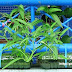 Pertumbuhan Tanaman Kangkung Hidroponik