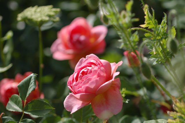 romantische rozentuin. Rosa Boscobel