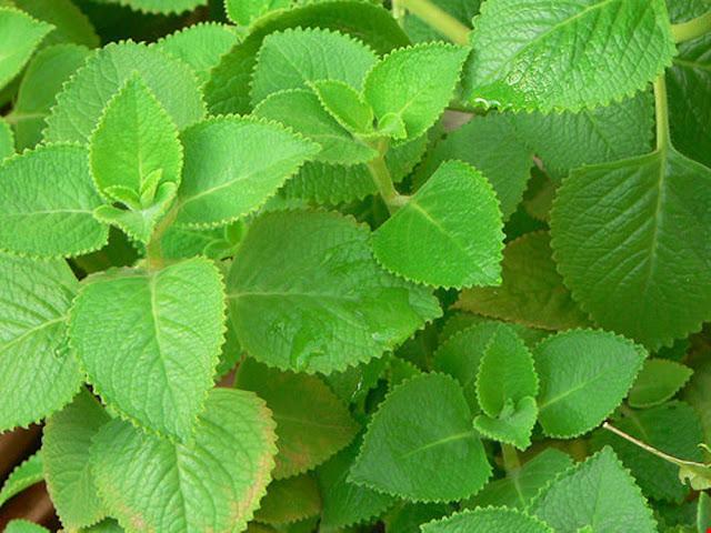 Cây HÚNG CHANH - Coleus aromaticus Benth - Nguyên liệu làm thuốc Chữa Ho Hen