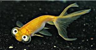 Ikan mas Koki mata langit