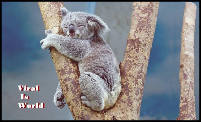 koala koala baby koala pouch koala costume koalas to the max koala kids koala crate koala onesie koala attack koala and baby koala australia koala adaptations koala art koala as a pet koala app koala and tree costume koala and panda a koala bear a koala is not a bear a koala's habitat a koala's diet a koala's playground a koala for katie a koala sound a koala's life cycle a koala's tree of choice a koala's appearance koala bite koala baby clothes koala bear facts koala baby brand koala baby shoes koala bear cartoon koala b koala b trading koala b is for bear koala b is for bear wall decals koala b-air blower koala b.c.s. inc koala b shoes koala b boots cloud b koala koala cabinets koala clipart koala connection koala care koala copypasta koala cookies c koala bear koala c msc koala cookie swirl c koala koala c ou k blackmores koala c pantip bebe koala c'est noel capital koala c discount bébé koala c'est à moi c'est koala koala diet koala disease koala decal koala drawing easy koala dental koala deville koala dot koala definition koala drink d koalas koala's playground what do koalas eat definicion de koala feminin de koala d.line macadamia koala nutcracker koala d'australie koala d.o.o koala d.o.o. križevci imagenes de koalas koala emoji koala eucalyptus koala eye koala ears koala eating koala eucalyptus meme koala endangered koala emoticon koala eating leaf koala evolution e-koala-ty e kolay koala e commerce koala e commerce china koala e juice koala e bardh koala ecard ebay koala koala e opossum koala e.v koala freak koala fingerprints koala fight koala from sing koala face koala food koala for sale koala feet koala facts for kids koala f(x) koala f f oswin robert koala reserve f(x) koala مترجم koala f(x) vietsub f(x) koala 中字 koala gif koala gear koala game koala gifts koala genus koala growl koala gem koala girl koala gestation period koala genome koala g eazy koala g string koala g g'day koala mug w g koala nails w&g koala g rex koala g-bvl koala koala hands ko