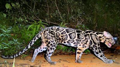 Species New To Science Mammalogy 2006 Neofelis Diardi
