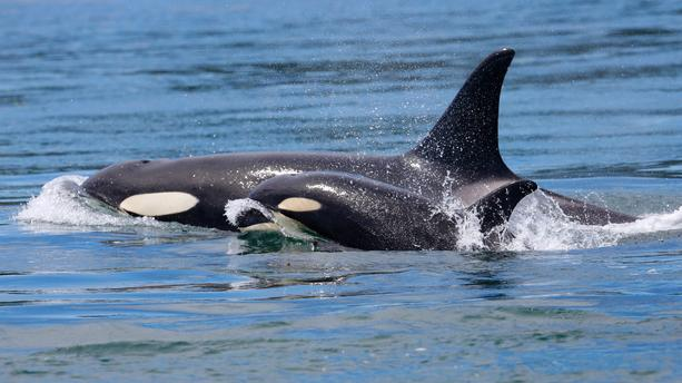 Grieving Orca Mother Carries Her Stillborn Baby For 17 Days And Refuses To Abandon Her