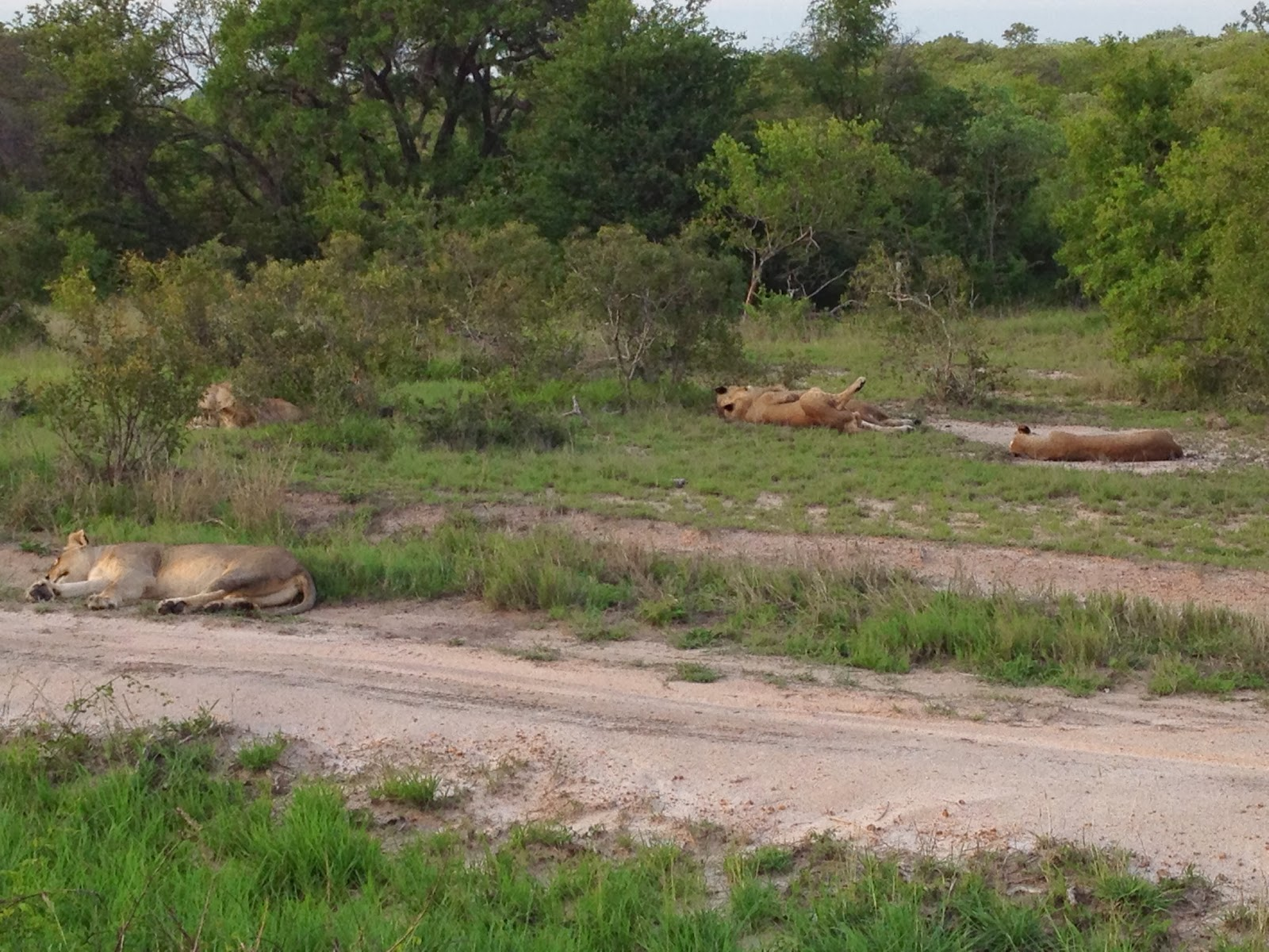Sabi Sands - Young lions napping