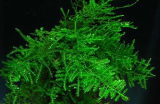 Tanaman Java Moss untuk aquasape pemula