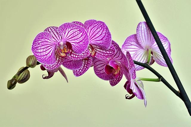 hoa lan hồ điệp đẹp 2