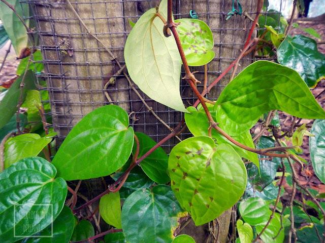 Betel, pieprz betelowy, żuwny (Piper betle) wygląd, pochodzenie, stosowanie, właściwości, występowanie, używki, narkotyki Azji. Dziwne, mało znane azjatyckie rośliny użytkowe. Tropikalne pnącza lecznicze, egzotyczne pnącze.