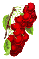 botanical art cherry fruit illustration vintage digital clipart image