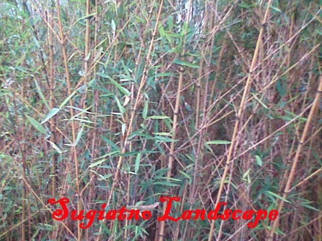 Jual pohon bambu klisik cina  harga bambu kelisik kuning