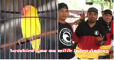 Rawatan Harian & Lomba Lovebird Awe we milik Indra Andong