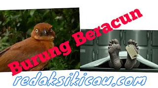 Jangan Asal Pegang Burung ! Papua Punya 6 burung beracun sekali Pegang Ini Nasibmu !