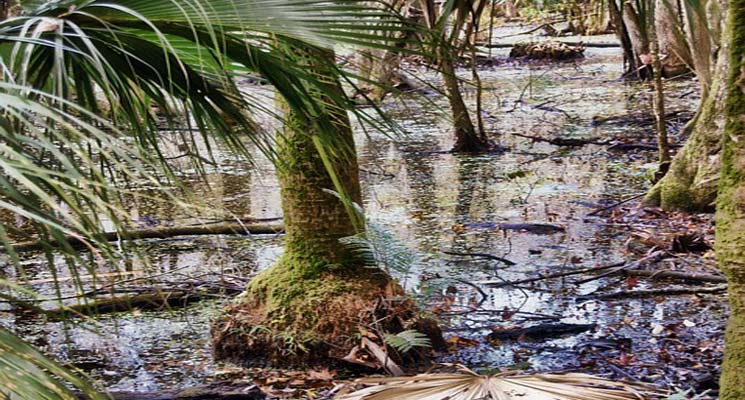 Pengertian Ekosistem Hutan Rawa
