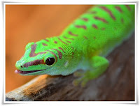 Gecko Animal Pictures