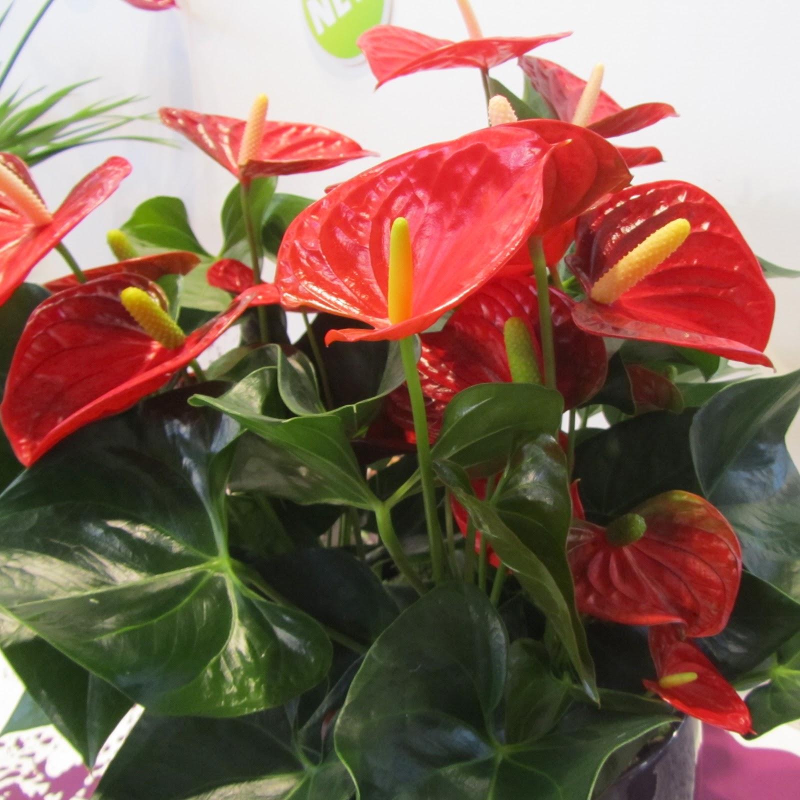Flower Homes: Anthurium Flowers