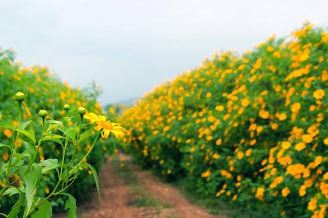 Hoa nở vàng rực trải dài khắp các con đường.