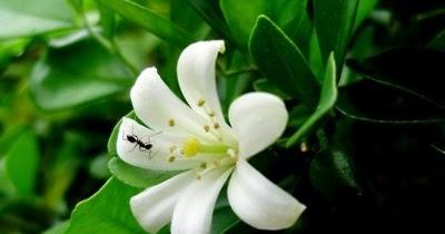 Cerpen Hikayat Bunga Kemuning