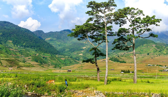 Mu Cang Chai in the summer 3