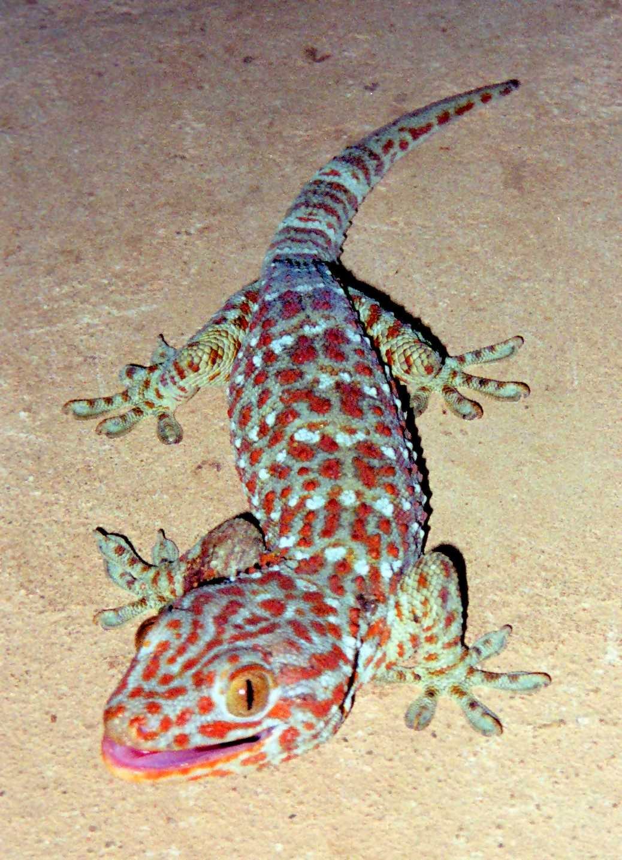 fakta tokek, memelihara tokek, fakta gecko