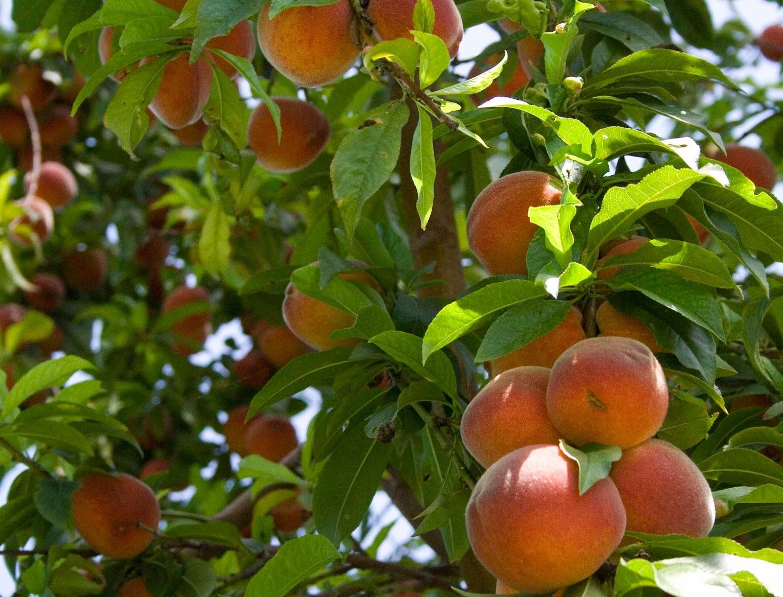 Peach | Make Me Hungry