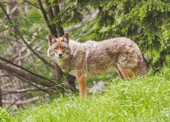 Wolves Wolf Facts Cougars Cougar Facts Coyotes Coyote