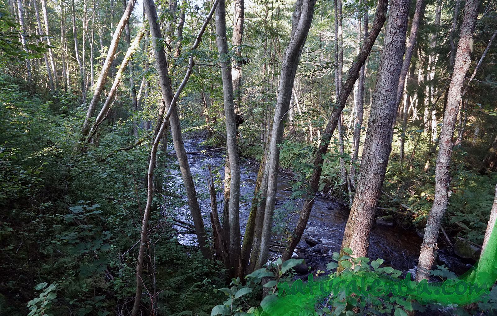 rio con bosque de abedules