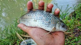 Umpan Alami Ikan Nilem