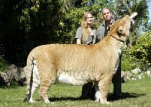 Amazing Buzz 4u The Biggest Cat In The World