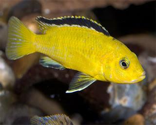 Mengenal Karakter Ikan Lemon dan Ikan Komet | Tabloid Ikan ...