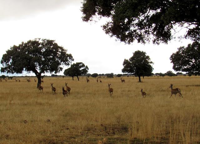 Ciervos en la raña de Cabañeros