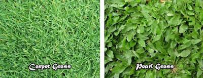Grass Seed, Biji Rumput, Benih Rumput, Petani Rumput Taman