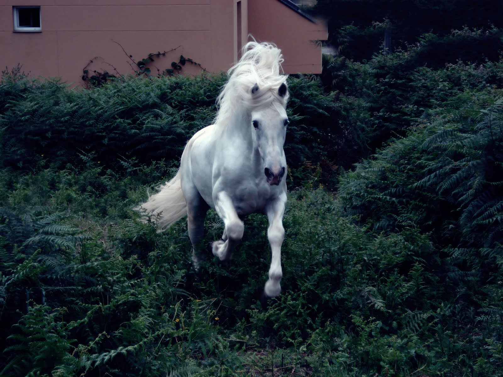 HD Animals Wallpapers: Andalusian horses Wallpapers