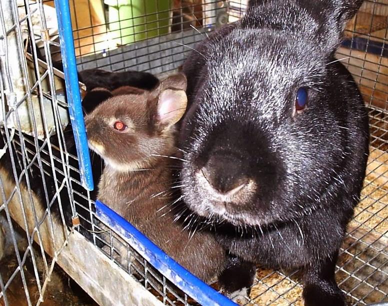 Kenapa kelinci baru lahir rawan mati? Penyebab Anak Kelinci Mati Pasca Melahirkan makan daging kelinci sehat