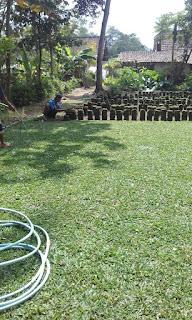 Rumput gajah mini batu malang