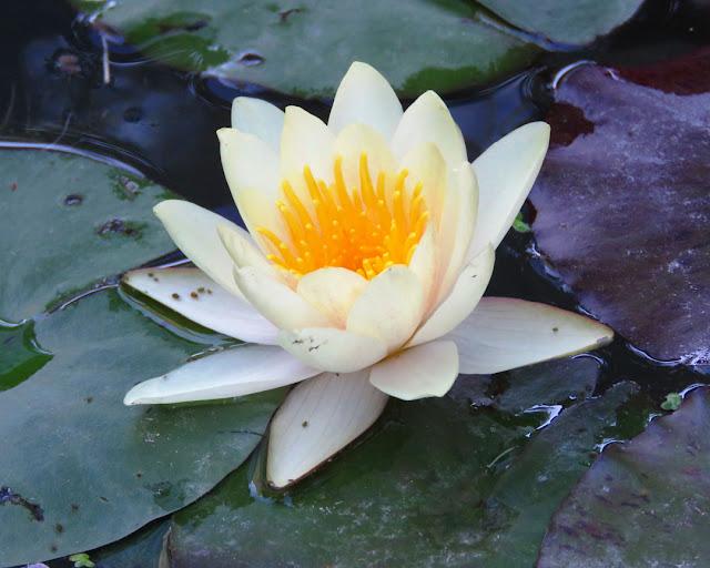 Nymphaea, water lily, Harborea, Villa Mimbelli, Livorno