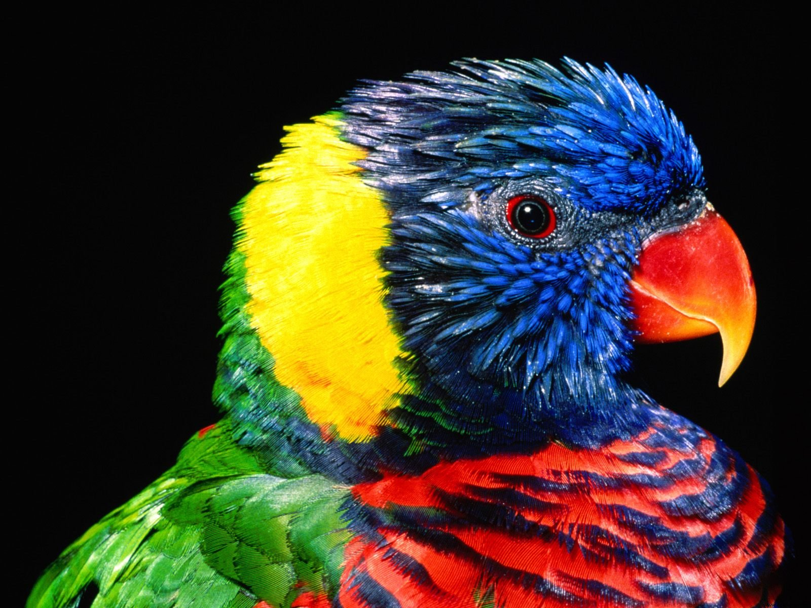 parrots wallpaper bird - photo #27