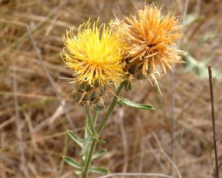 Abrepuños, centaurea amarilla (Centaurea ornata)