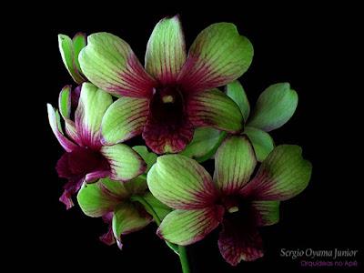 Orquídea Denphal verde
